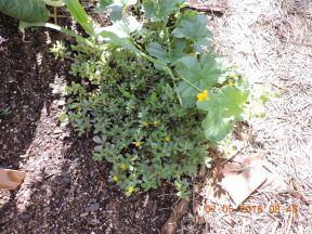 Purslane, an edible weed