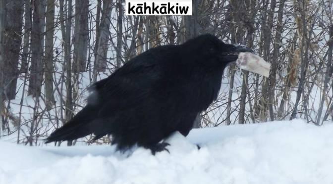 Raven – kāhkākiw