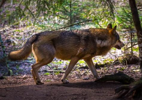 wolf - mahihkan