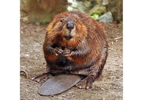 beaver - amisk