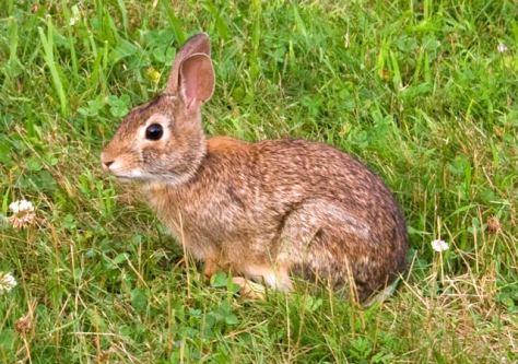 rabbit - wāpos