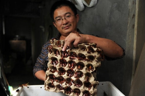 Chinese people like to raise cockroaches