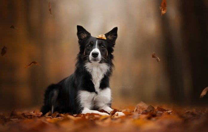 Border Collie is explicitly bred to herd cattle.