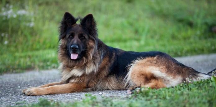 German Shepherd - easy to train