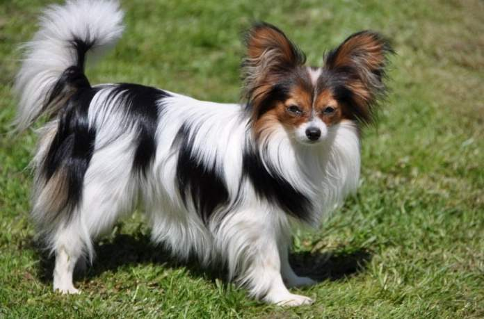 Easy to train Papillon - top 10 tricks and methods