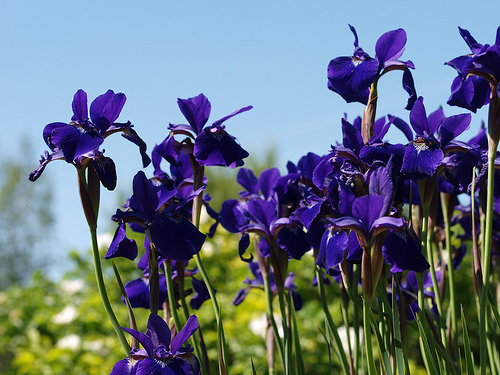 Siberian iris iowa photo