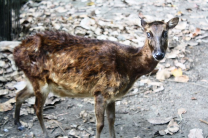 The Visayan Spotted Deer