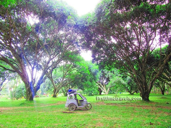 Mango plantation Guimaras Island