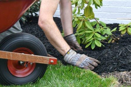 Man doing yard work, spreading mulch around landscape bushes from a wheelbarrow