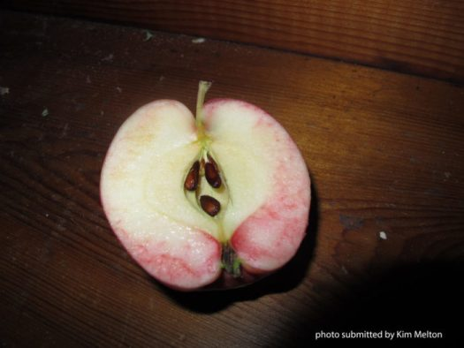 John Lenart's Klondike apple in January