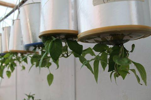 Upside-down coffee can planters in the Arviat greenhouse, Photo submitted by Shirley Tagalik