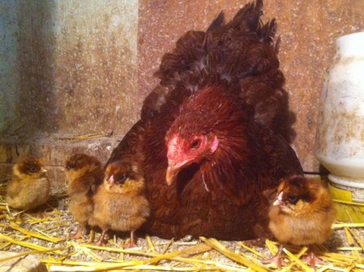 Hen and her chicks -Photo by Les Kutny