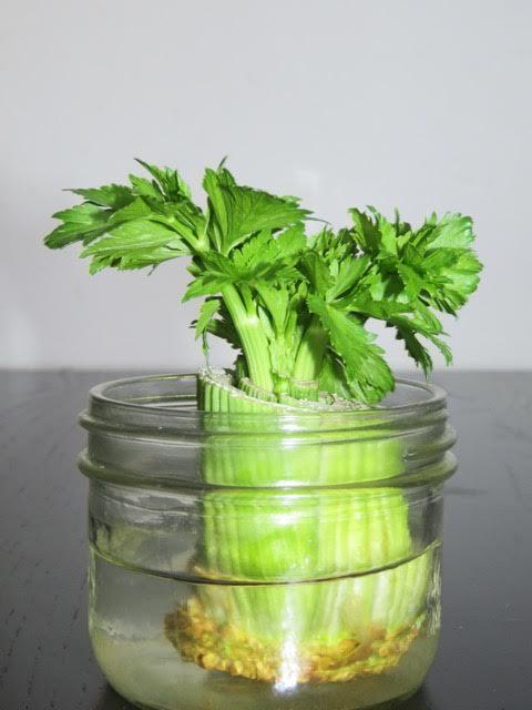 Regrowing celery - photo by Claus Vogel