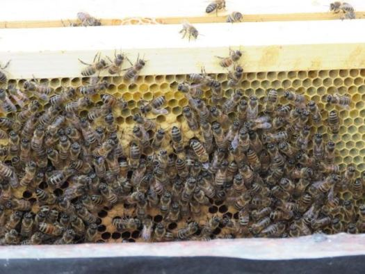 The bees look healthy despite of the challenges for beekeeping in the North
