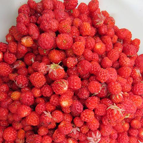 Wild Strawberries Are Worth the Work