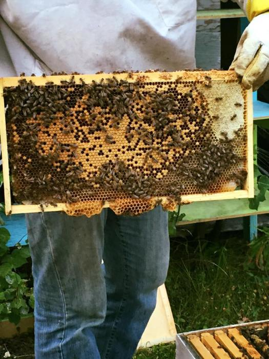 This brood frame was attacked by a bear, who killed more than half the population of bees - Photo Courtesy of Bee Whyld