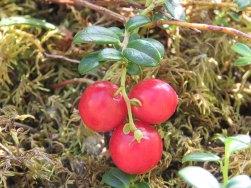 Lowbush_Cranberry[1]