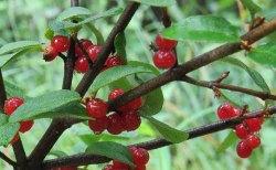 better_soapberries[1]