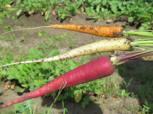 colourful-carrots