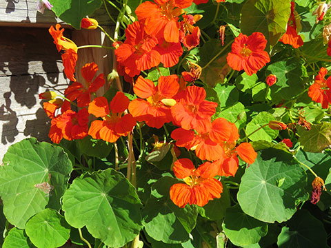 Flowering nasturtium. From FirstWeEat.ca, the Food Security North of 60 website supporting First We Eat, a documentary by Yukon filmmaker Suzanne Crocker about eating only locally-grown foods in in Dawson City, Yukon, in Canada's North, for one year.