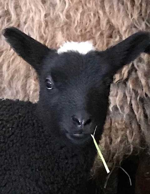 Lambs of Spring
