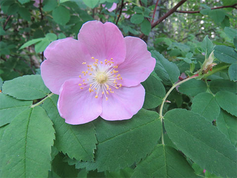 The Delicate Flavour of the Wild Rose