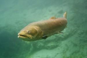 Huchen, Hucho hucho, Fisch, Süßwasserfisch, Traun, Österreich