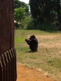 A very cute gorilla