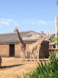 Glorious giraffes