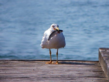 今年の春のトキシラズ、カラフトマス漁、今のところの状況について