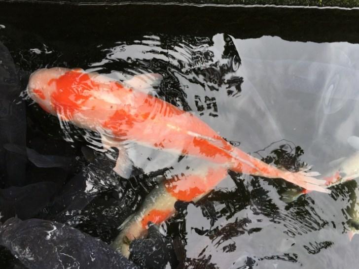 観賞魚用に改良された錦鯉