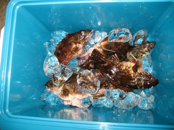 シマノ クーラーボックスで魚の鮮度キープ