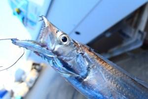 太刀魚ワインドって難しい?