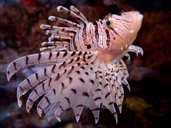 ミノカサゴは危険な毒魚