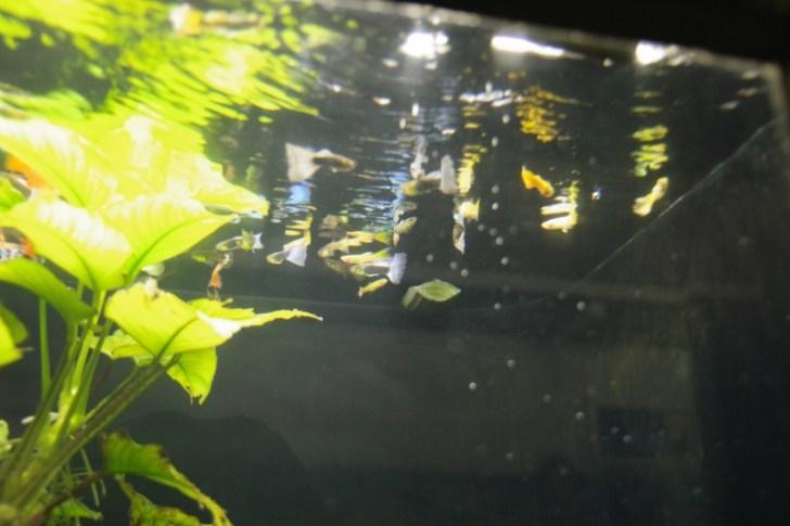 45cm水槽でいろんな魚を飼育してみよう!