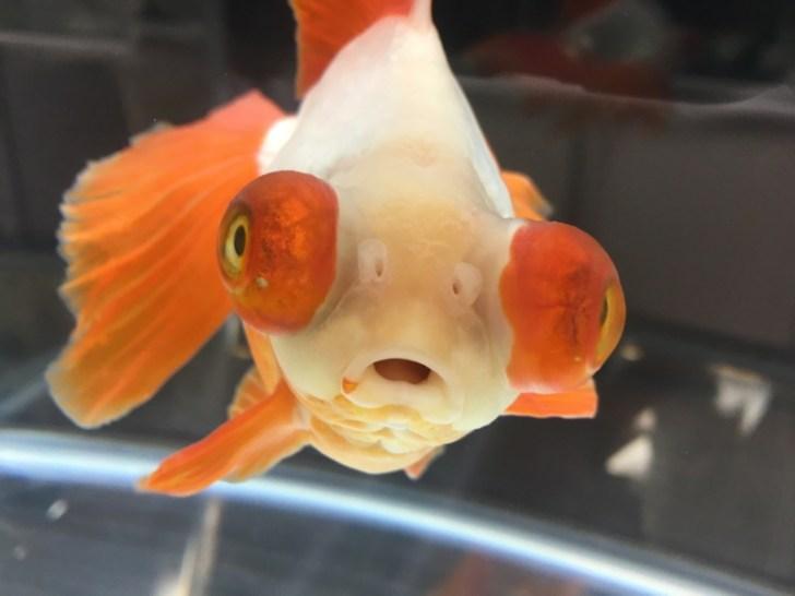金魚の飼育方法の画像