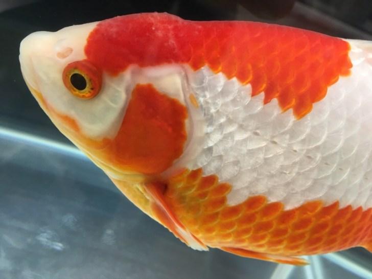 金魚の飼い方について