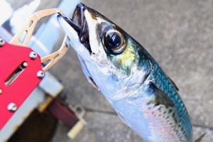 サバ釣りは初心者にもおすすめ