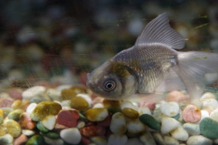 金魚の飼育方法
