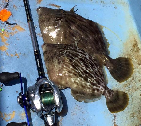 カワハギ釣りのコツ
