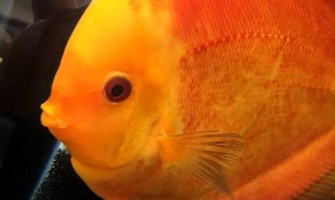 ディスカスは熱帯魚の王様!