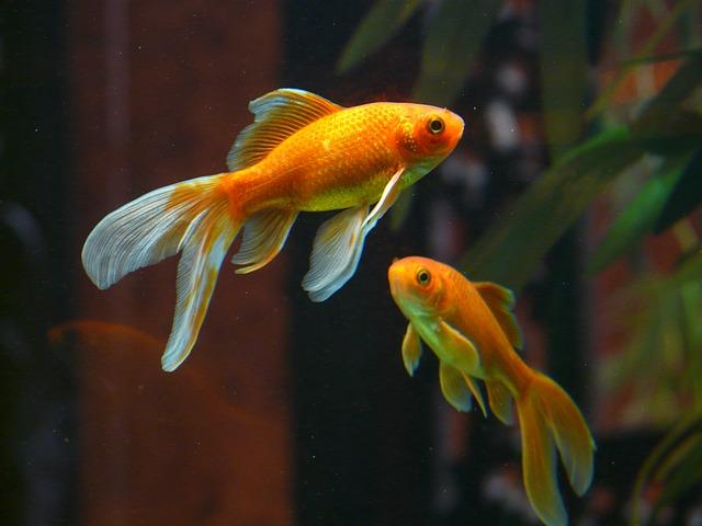 90cm水槽におすすめの淡水魚