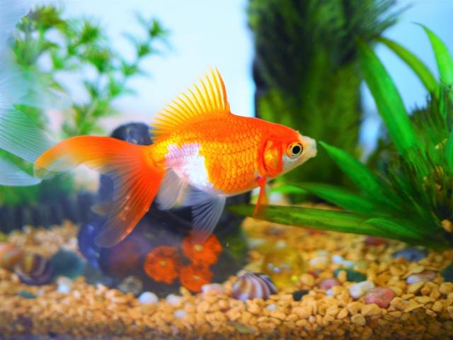 どんぶり金魚の画像