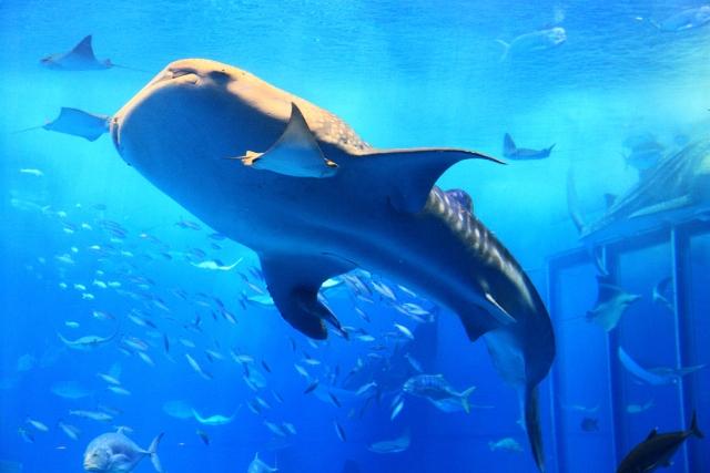 ジンベエザメの特徴