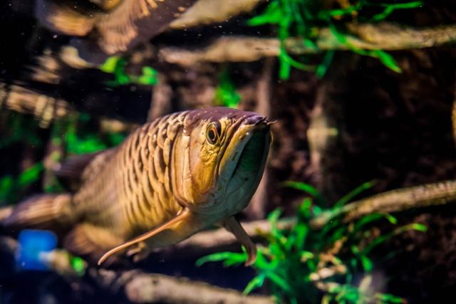 シルバーアロワナの近縁種との混泳