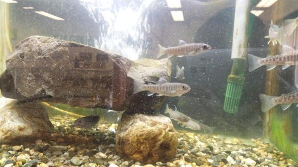イワナは水槽で飼育もできる