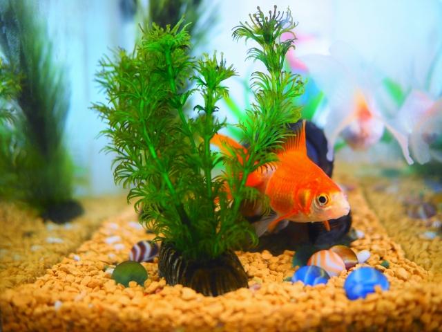 金魚と水草の相性