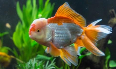 水草と金魚を一緒に水草に入れる