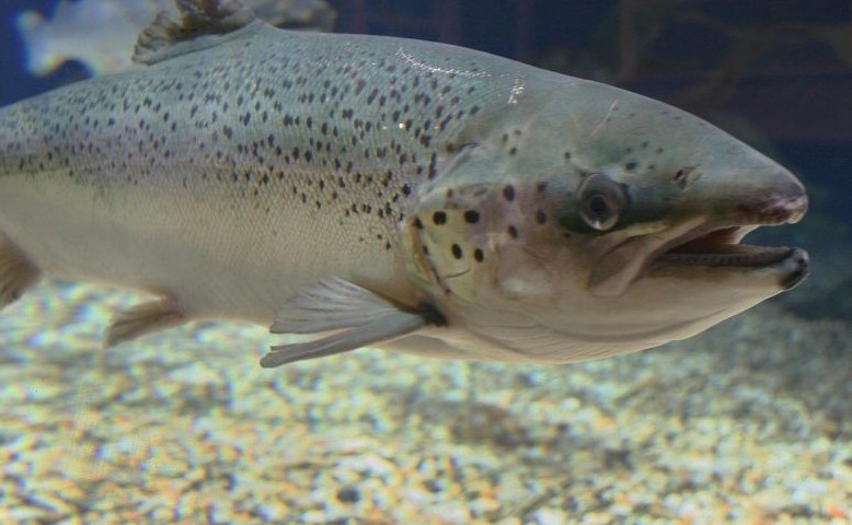 WDFW denies permit for Cooke Aquaculture to place 800,000