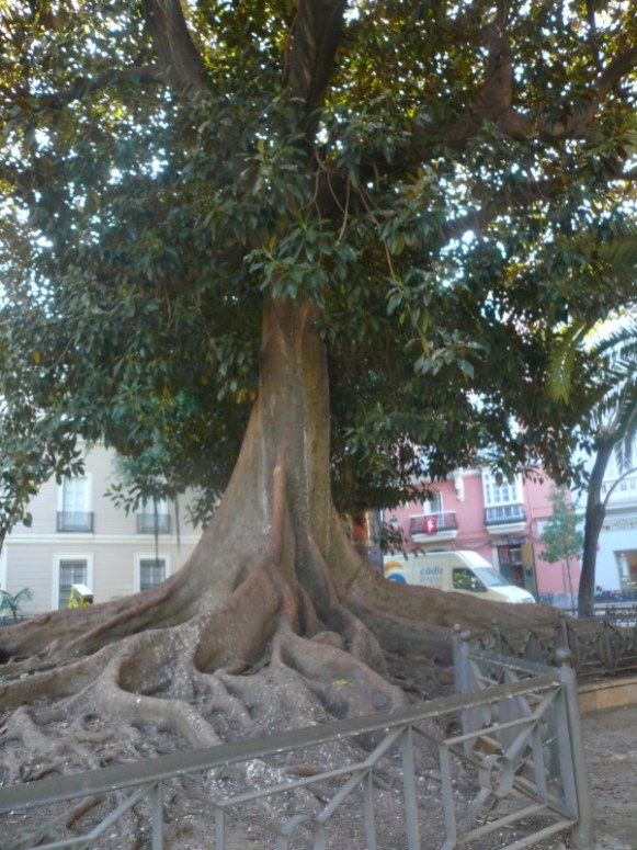 Ficus géant de cadix
